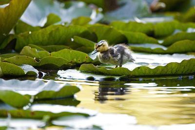 Mallard Ducklings, Anas Platyrhynchos, Walk across Lily Pads-Paul Colangelo-Photographic Print