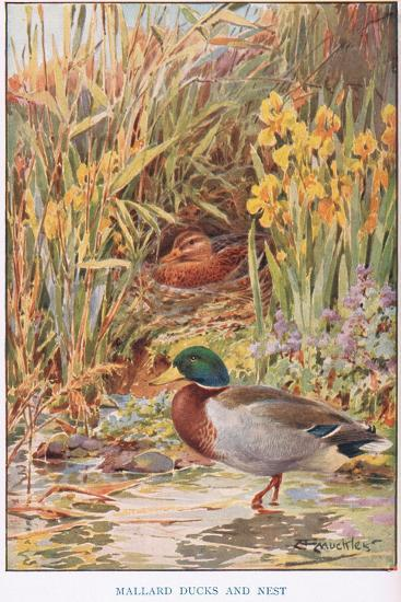 Mallard Ducks and Nest, Illustration from 'Country Days and Country Ways'-Louis Fairfax Muckley-Giclee Print