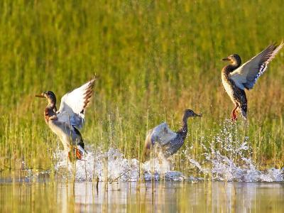 Mallard Ducks Takeoff From Whitefish Lake, Montana, USA-Chuck Haney-Photographic Print