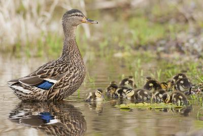 Mallard Hen with Ducklings-Ken Archer-Photographic Print