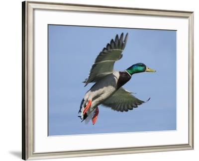 Mallard in Flight, Lake Geneva, Switzerland-Elliot Neep-Framed Photographic Print