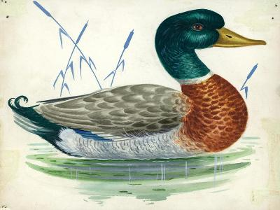 Mallard or Wild Duck Anas Platyrhynchos--Giclee Print