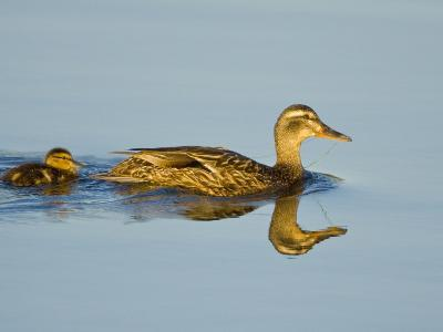 Mallard with a Chick (Anas Platyrhynchos) Swimming in the Ocean in Victoria, British Columbia-Glenn Bartley-Photographic Print
