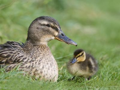 Mallard with Duckling, Martin Mere, Wildfowl and Wetland Trust Reserve, England, United Kingdom-Ann & Steve Toon-Photographic Print