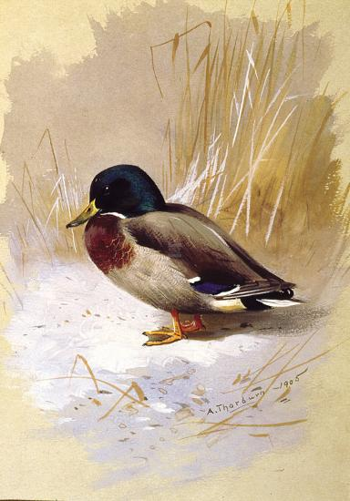 Mallard-Archibald Thorburn-Premium Giclee Print