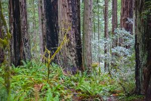 A grove of giant redwoods located in the Lady Bird Johnson Grove of the Redwood National Park by Mallorie Ostrowitz