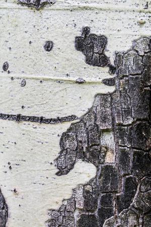 A Macro Shot of Aspen Bark on an Aspen Tree