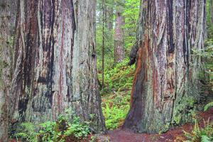 Ancient trees, Lady Bird Grove of the Redwood National Park. by Mallorie Ostrowitz