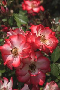 Betty Boop rose is a hybrid rose with a moderately fruity aroma. by Mallorie Ostrowitz