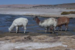 Chile, Pakana, Semi-Wild Llamas Drinking at the Tara Salt Lake by Mallorie Ostrowitz