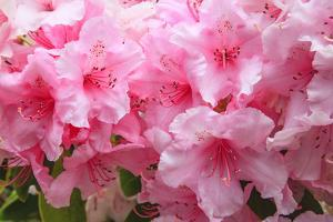 Evergreen azalea blooms in the spring and summer. by Mallorie Ostrowitz