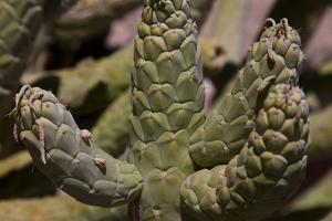 Growing in Front of the Tocanao Church, Is This Local Cactus by Mallorie Ostrowitz