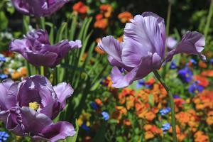 Lilac Tulips Found in the Public Garden in the Town of Saint Malo by Mallorie Ostrowitz