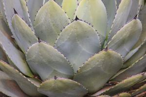 Parry's agave or mescal agave. by Mallorie Ostrowitz