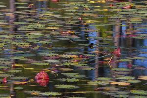 Pond Close-Up with Lily Pads and Reflections by Mallorie Ostrowitz