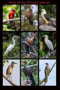 Poster featuring nine birds founds in the Amazon rainforest of northern Peru by Mallorie Ostrowitz