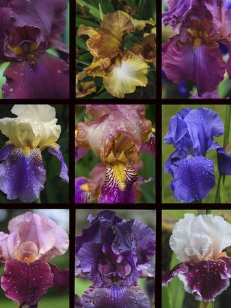 Posters of irises shot in Aquitaine province of France after a rain.