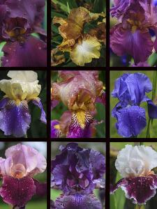 Posters of irises shot in Aquitaine province of France after a rain. by Mallorie Ostrowitz