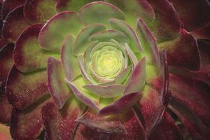 Succulent named prairie sunset or houseleeks. by Mallorie Ostrowitz