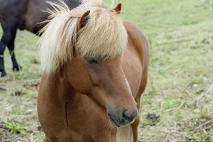 These small horses are the size of ponies, live long lives and are a hardy breed. by Mallorie Ostrowitz