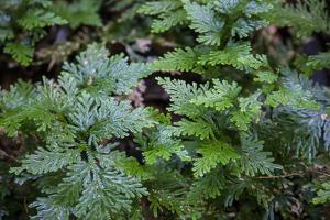 This Is an Interesting Variety of Fern, the Leaves are Iridescent by Mallorie Ostrowitz