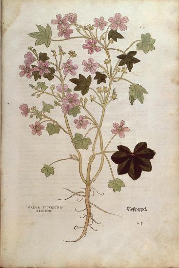 Mallow (Malva Sylvestris Elatior) by Leonhart Fuchs from De Historia Stirpium Commentarii Insignes--Giclee Print