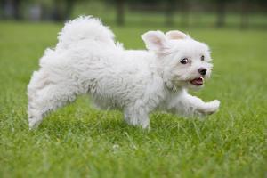 Maltese Puppy Running in Garden