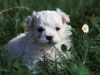 Maltese Puppy Sitting in Grass Near a Daisy-Adriano Bacchella-Photographic Print