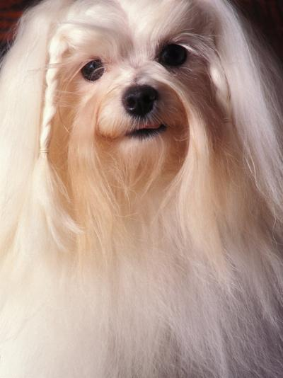Maltese with Hair Plaited-Adriano Bacchella-Photographic Print