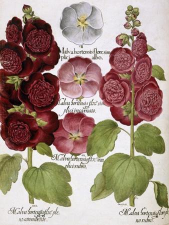 Malva Hortensis