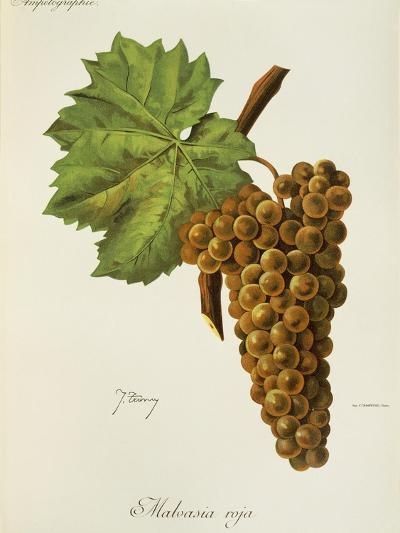Malvasia Roja Grape-J. Troncy-Giclee Print