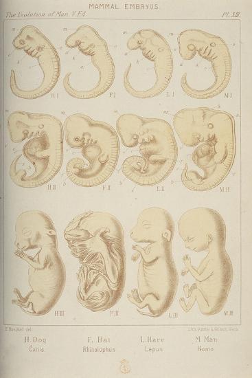 Mammal Embryos, 1905-Ernst Heinrich Philipp August Haeckel-Giclee Print