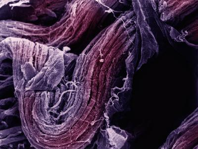 Mammal Nerve, Showing the Ventral Nerve Root Near the Spinal Cord-Fred Hossler-Photographic Print