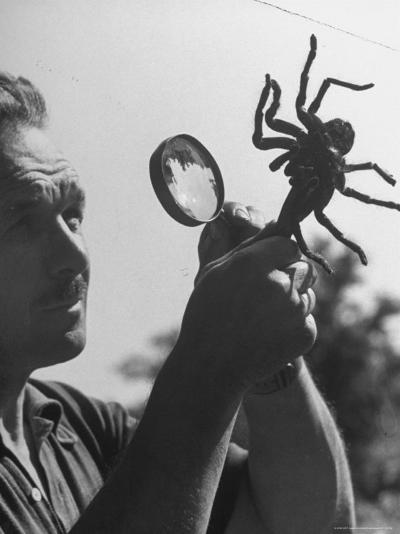 Man Examining a Large Spider, a Tarantula-Alfred Eisenstaedt-Photographic Print