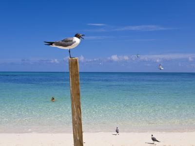 Man Swimming and Gulls Basking on a Clear Bahamas Day at the Beach-Mike Theiss-Photographic Print