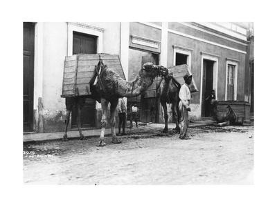 Man with Camels, Las Palmas, Gran Canaria, Canary Islands, Spain, C1920s-C1930s--Giclee Print