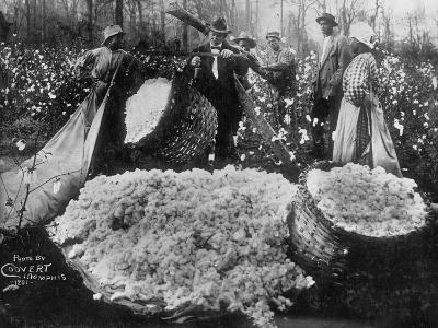 Manager Weighing Picked Cotton--Photographic Print