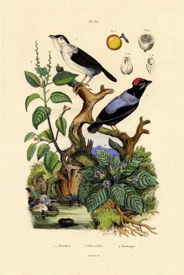 Manakins, 1833-39--Giclee Print