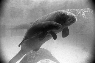 Manatee Mother and Newborn Swimming--Photographic Print