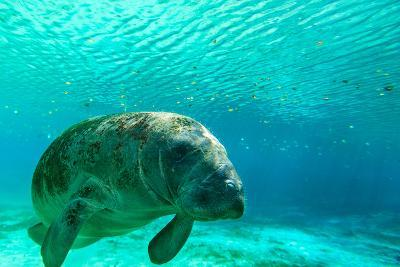 Manatee Swimming in Clear Water in Crystal River, Florida-James White-Photographic Print