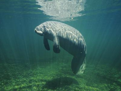 Manatee (Trichechus Manatus) or Sea Cow under Water-Jeff Foott-Photographic Print