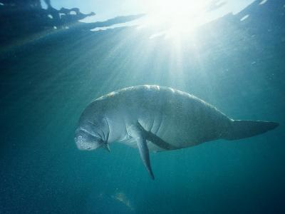 Manatee Underwater, Sunlight Filtering Through Surface-Jeff Foott-Photographic Print