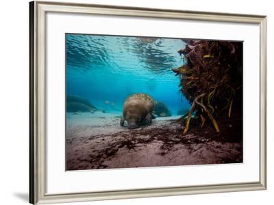 Manatees Swim Along the Sandy Floor of Crystal River-Ben Horton-Framed Photographic Print