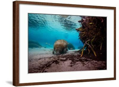 Manatees Swim Along the Sandy Floor of Crystal River-Ben Horton-Framed Photographic Print