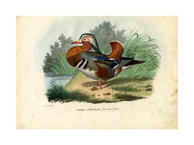 Mandarin Duck, 1863-79-Raimundo Petraroja-Giclee Print