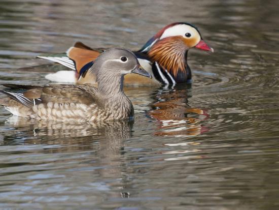 Mandarin Duck, Beijing, China-Alice Garland-Photographic Print