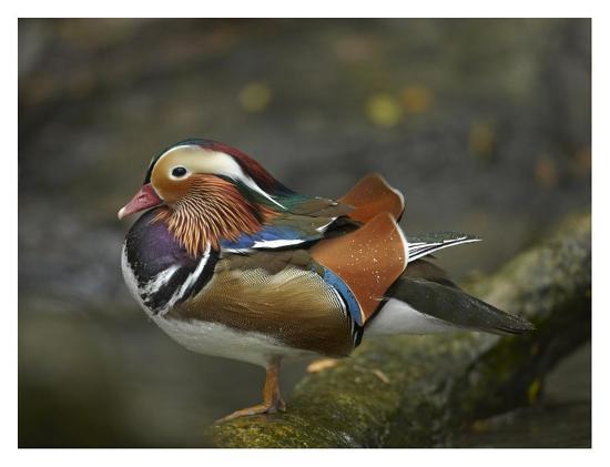 Mandarin Duck male, Jurong Bird Park, Singapore-Tim Fitzharris-Art Print