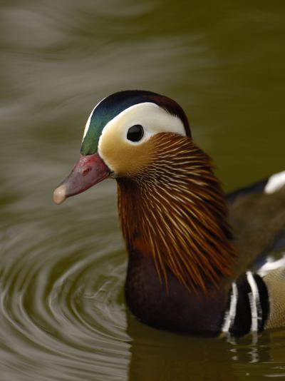 Mandarin Duck, Slimbridge Wildfowl and Wetlands Trust, England-Pete Oxford-Photographic Print