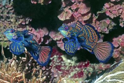 Mandarinfish Male and Female-Hal Beral-Photographic Print
