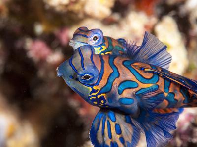 Mandarinfish (Synchiropus Splendidus) Mating, Sulawesi, Indonesia, Southeast Asia, Asia-Lisa Collins-Photographic Print